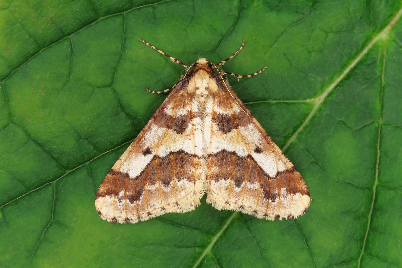 70.256 Mottled Umber - Erannis defoliaria