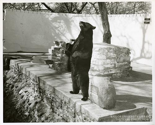 Baylor University-Bear Mascot-1950s