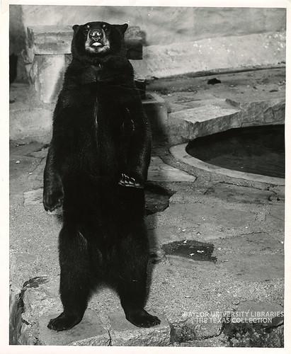 Baylor University-Bear Mascot-8-1950s