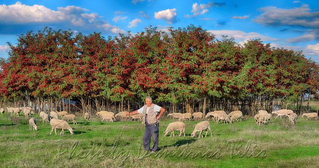 ...τὰ πρόβατα τῆς νομῆς Mου  The lambs of My herbage 6