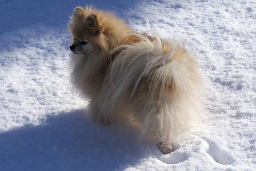 Pomeranian - Roma