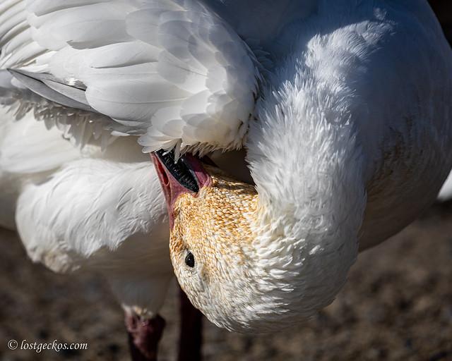 White snow goose morning bathing