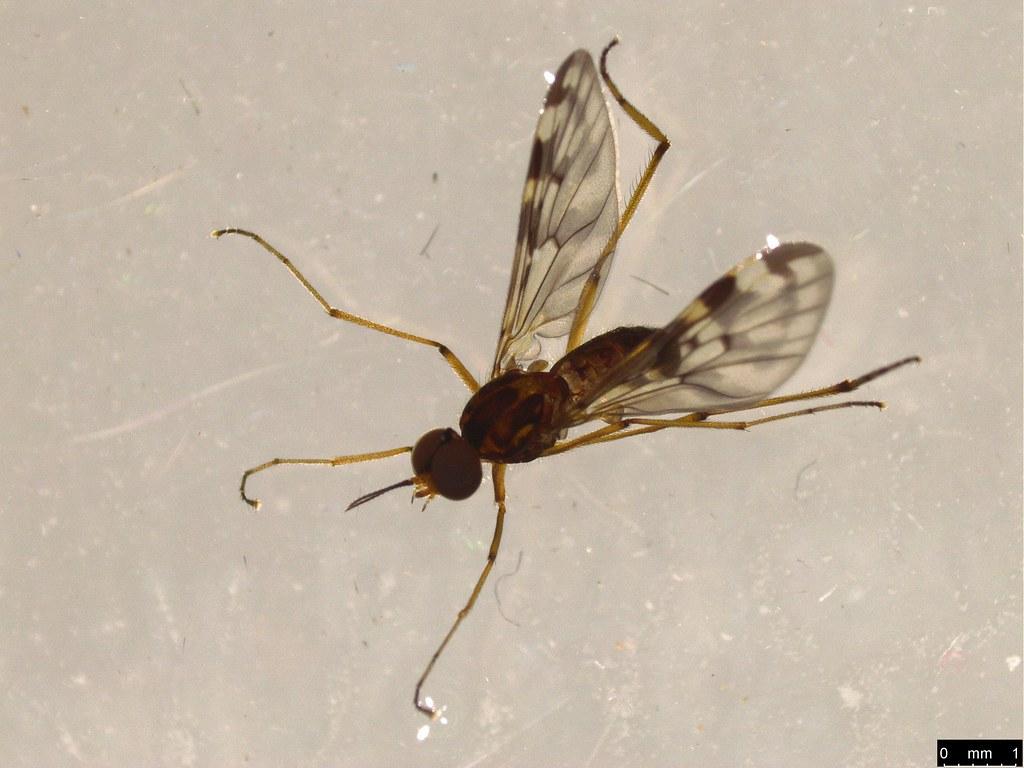 9a - Sylvicola dubius (Macquart, 1850)