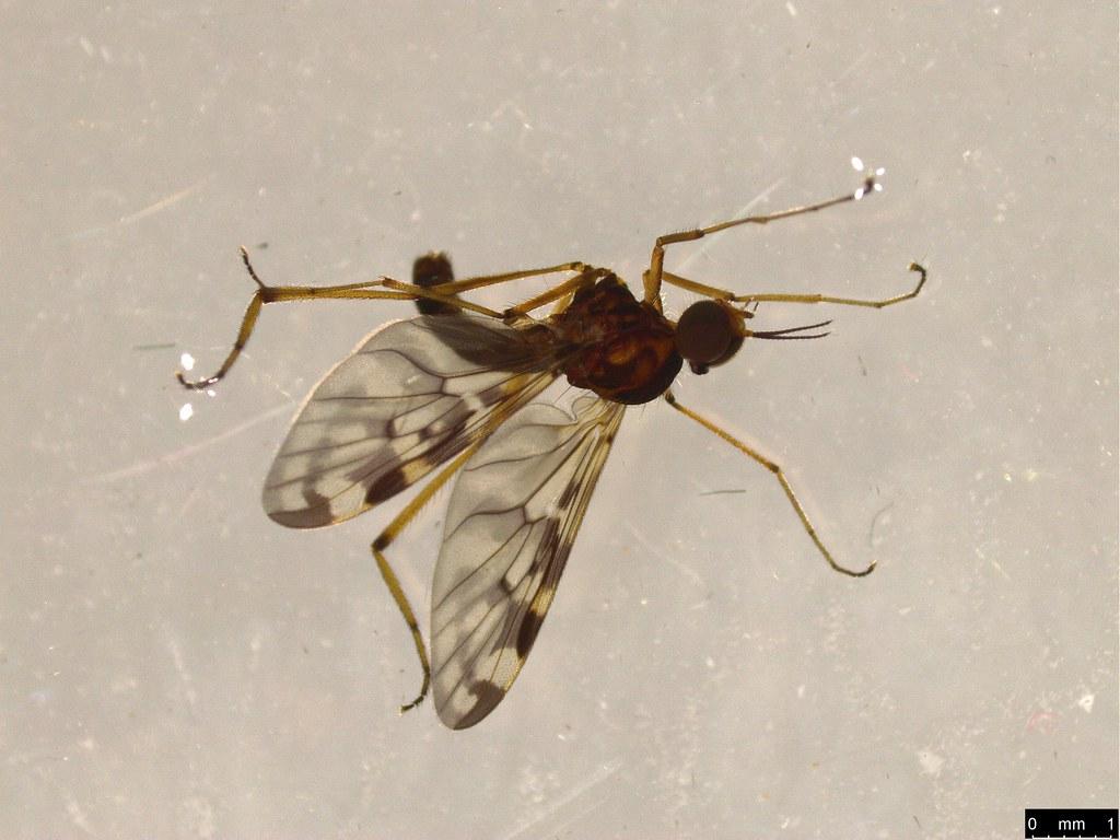 9b - Sylvicola dubius (Macquart, 1850)