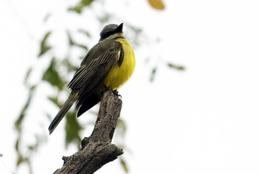Westchester County, N.Y.: Tropical Kingbird 1