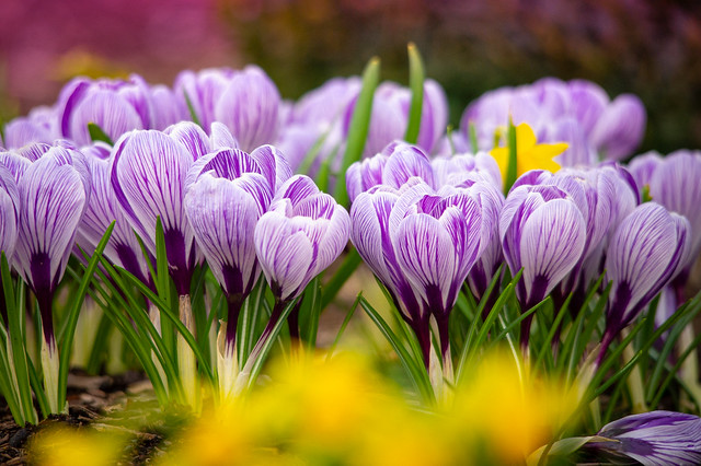 Crocusses ... remembering the sunny spring days
