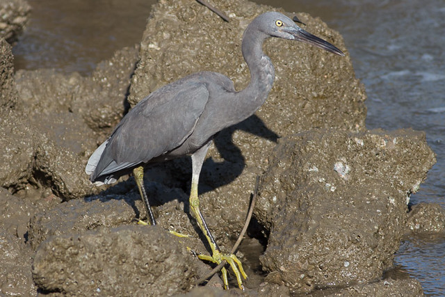 Pacific Reef-Heron  - dark morph