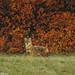 Canis aureus - Golden Jackal