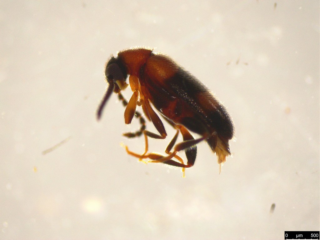 7a - Aderidae sp.
