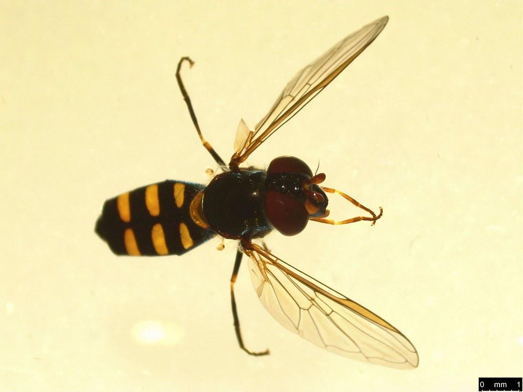 8 - Melangyna viridiceps (Macquart, 1847)