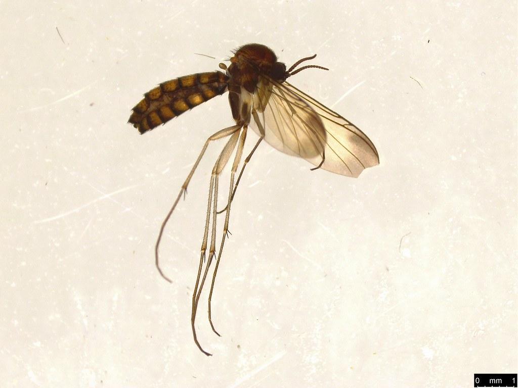 10 - Keroplatidae sp.
