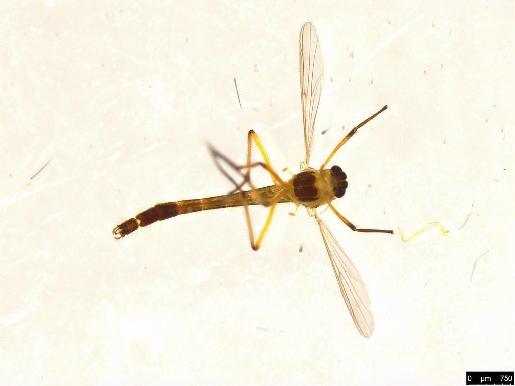 11a - Chironomidae sp.