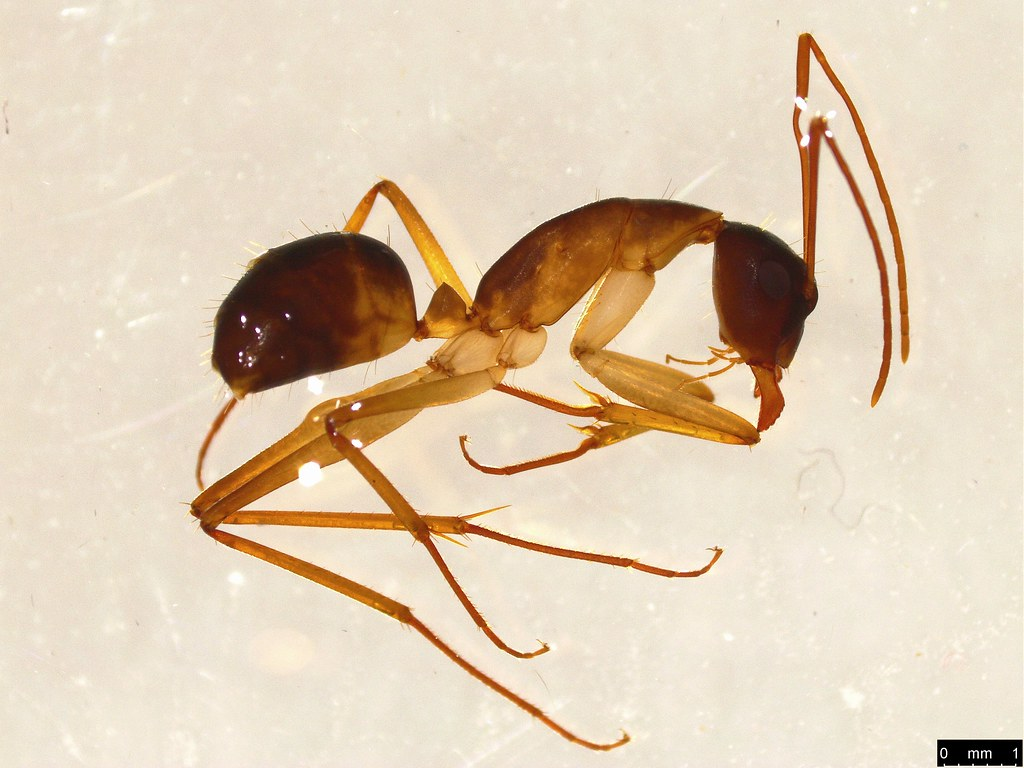 14 - Camponotus sp.