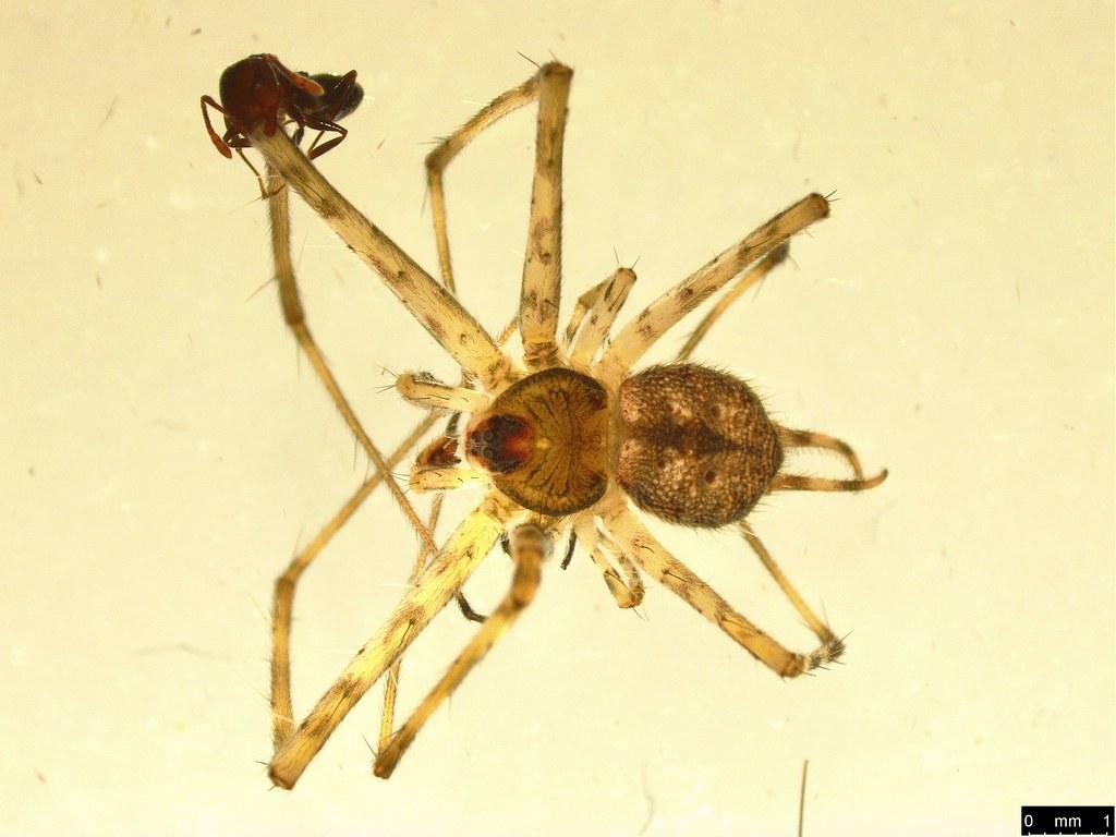 15a - Tamopsis sp.