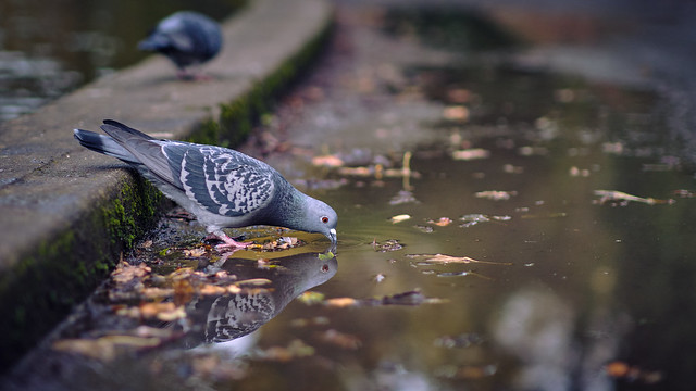 Pigeon having a drink