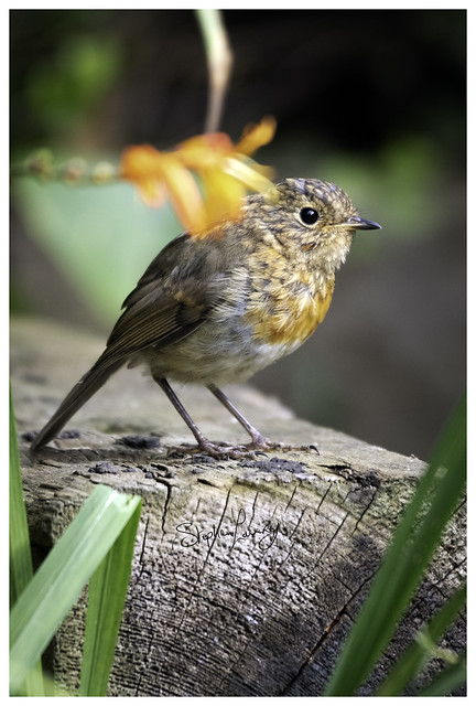 Robin: Juvenile