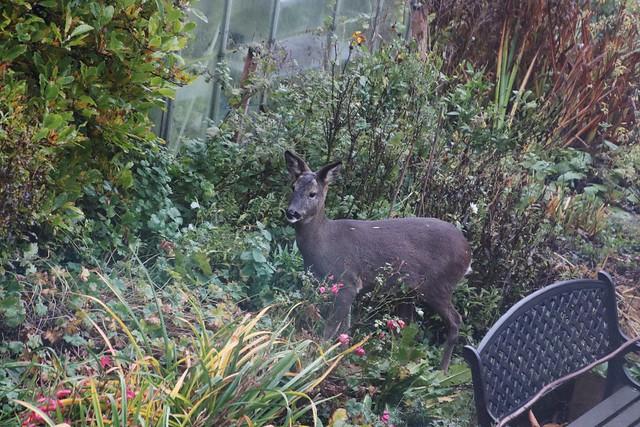 LB Deer 2020-11-06 003