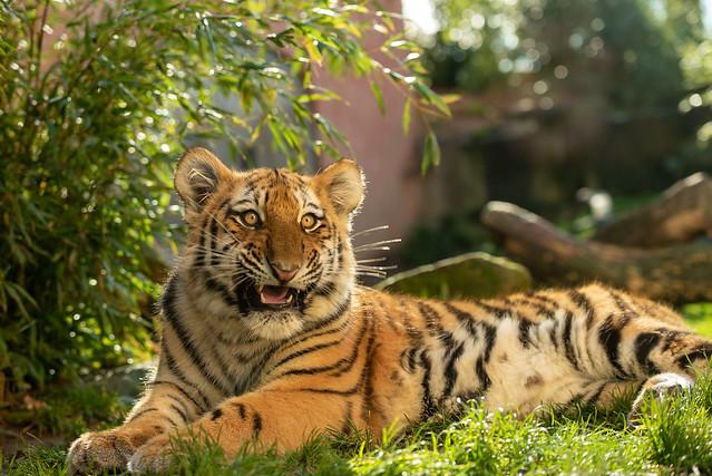 Amur-Tiger/Siberian Tiger
