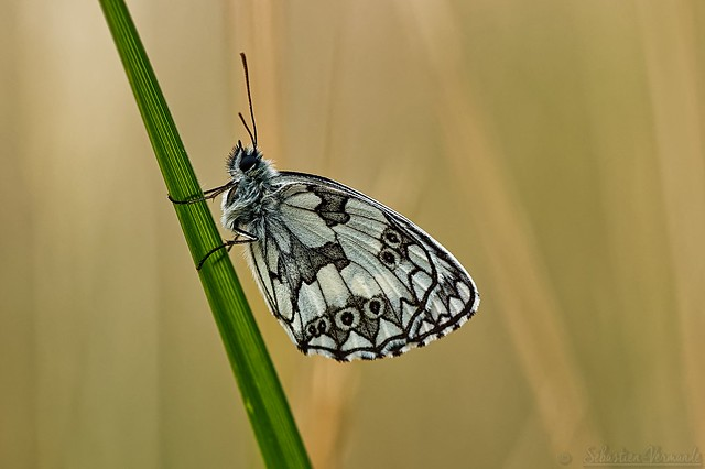 Melanargia galathea ♂ - Demi-deuil ♂ - Marbled white ♂