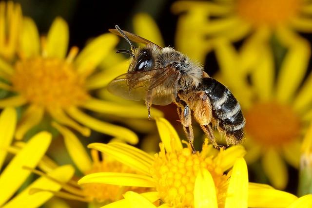 Rolf Nagel-Fl-7215-Andrena flavipes Female