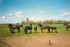 Oentsjerk Praktijkschool. ca 1990 Friese paarden met de kerk van Oentsjerk op de achtergrond.