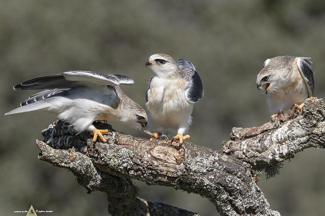 Nibbio Bianco - Elanus caeruleus -