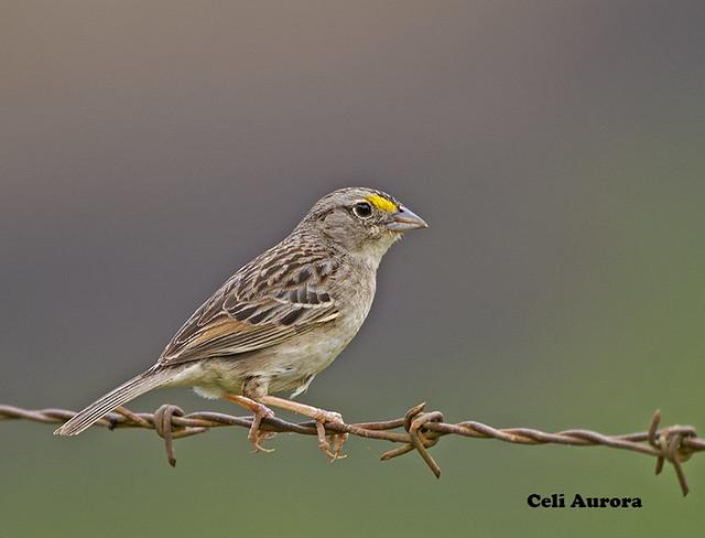 Tico tico do campo - Ammodramus humeralis - Grassland Sparrow  DSC_8608