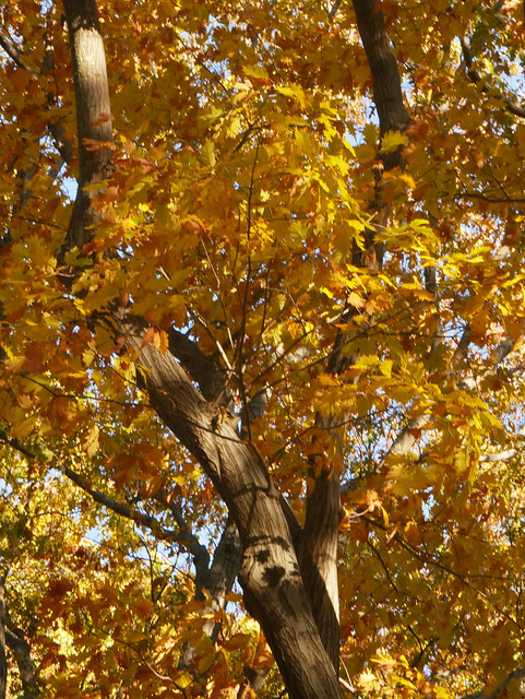 Quercus rubra (Northern Red Oak) 11253*A