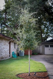 The New Oak (replacing the Mary Ruth Oak) | by Tom Fowler LJTX
