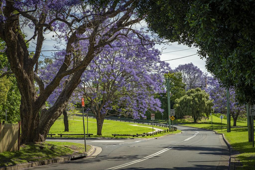 Jacaranda at Windsor, NSW