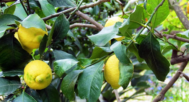 IMG_1086 - limoni