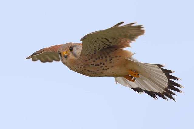 Kestrel - hovering. I'm looking at you!
