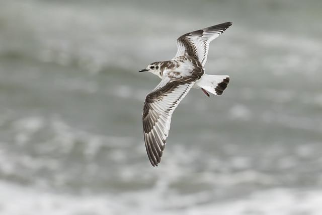 Little Gull, Hydrocoloeus minutus