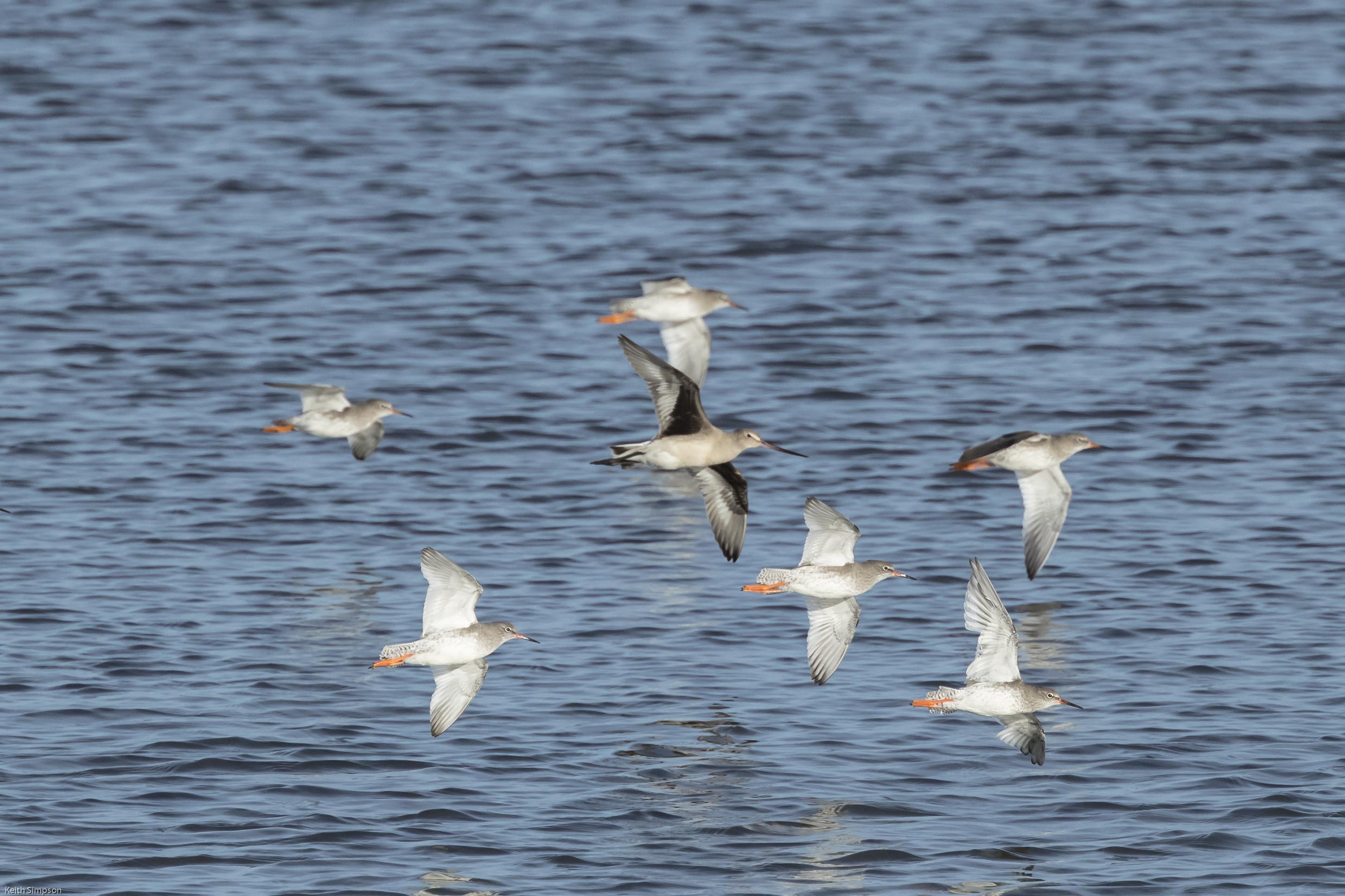 Hudsonian Godwit & Redshanks