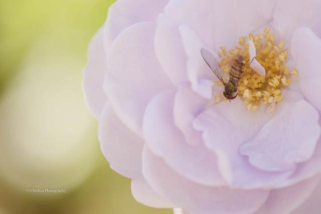 flitting from flower to flower.