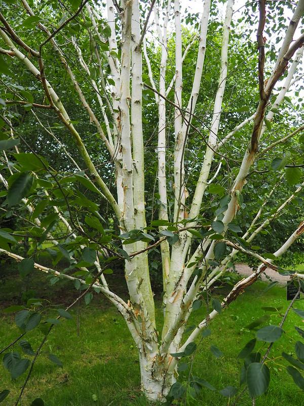 Betula utilis ssp. jacquemontii 'Doorenbos'_Himalayan Birch_P8030459
