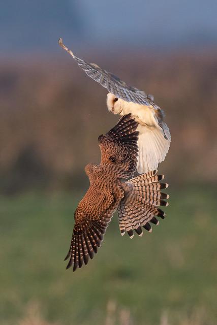 barn owl and kestrel
