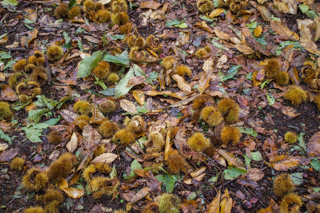 Grupo de castañas en el suelo