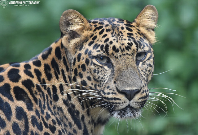 African leopard - Pakawipark
