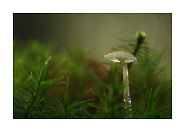 Bonnet Mushroom (Mycena) at Whiteley Woods