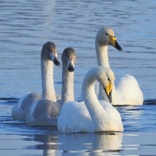 Whooper Swans - Mr.S, Mrs.S and 'The S Twins'