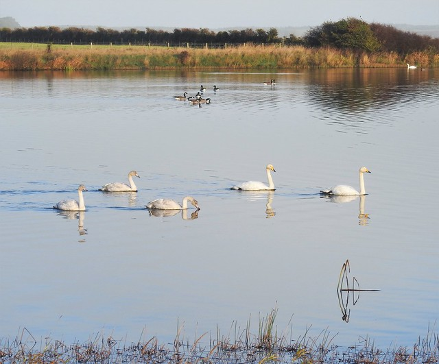 Druridge Ponds - Whooper Swans and Canada Geese