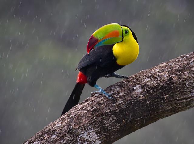 Keel-billed Toucan - Toucan à carène