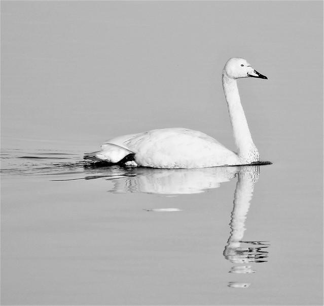 Whooper Swan - Serenity Reflected