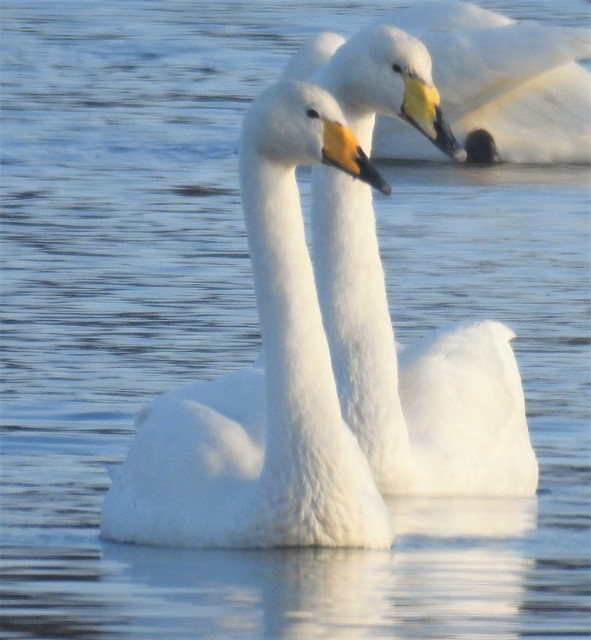 Pair of Whooper Swans - Paired For Life ..??