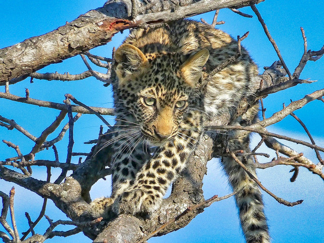 Leopard cub in a tree waiting for mom
