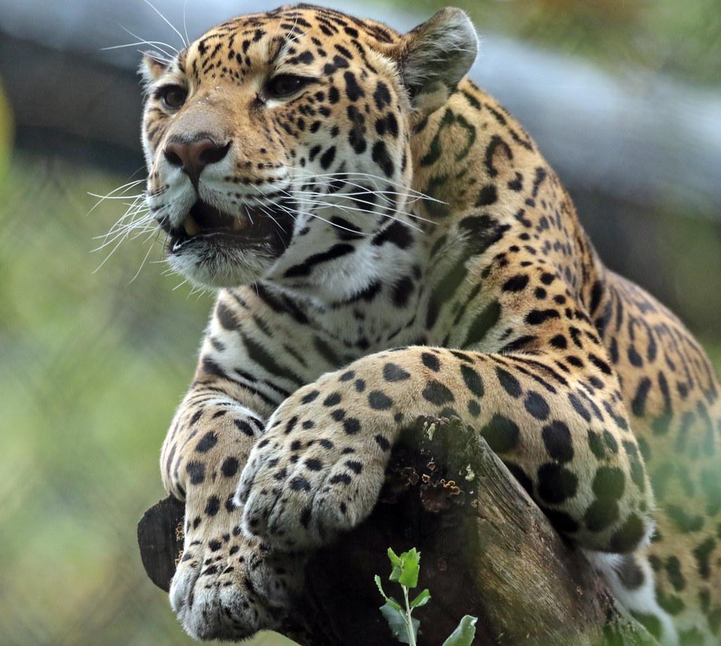 jaguar rica artis 094A0480