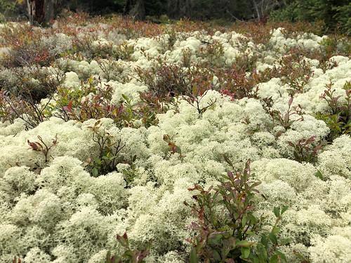 Fushimi Lake PP - the fancy lichen