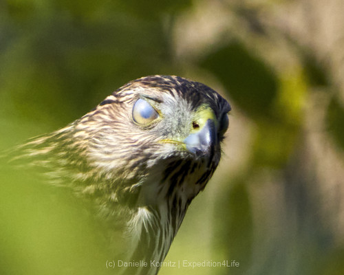 Red-tailed Hawk with nictitating membrane or third eyelid