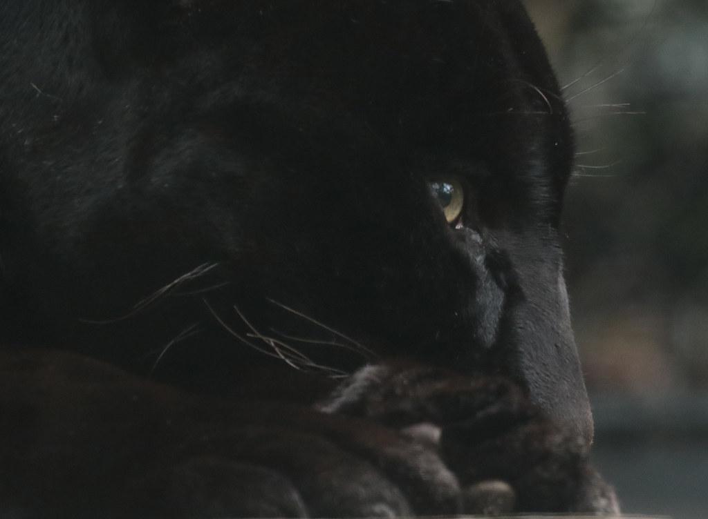 jaguar Mowgli  artis 094A0537